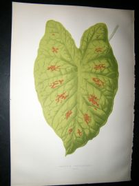 Lowe 1891 Antique Botanical Print. Caladium Verschaffeiti